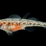 Tessellated Darter - Etheostoma olmstedi - Female