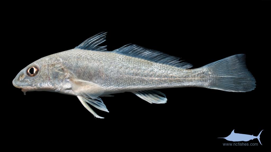 Gulf Kingfish - Menticirrhus littoralis