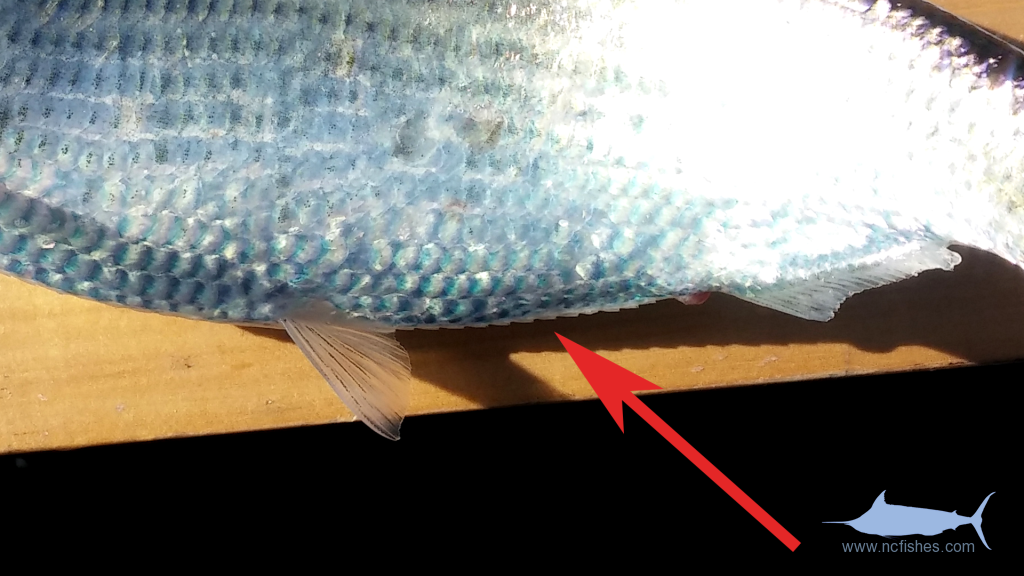 Ventral scutes of a Hickory Shad ventral scutes