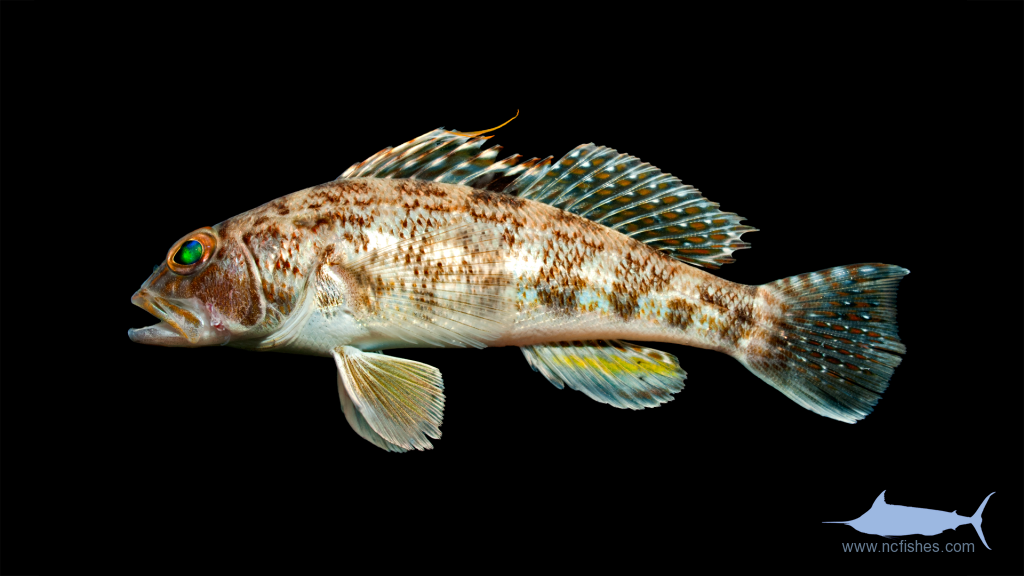 Rock Sea Bass - Centropristis philadelphica
