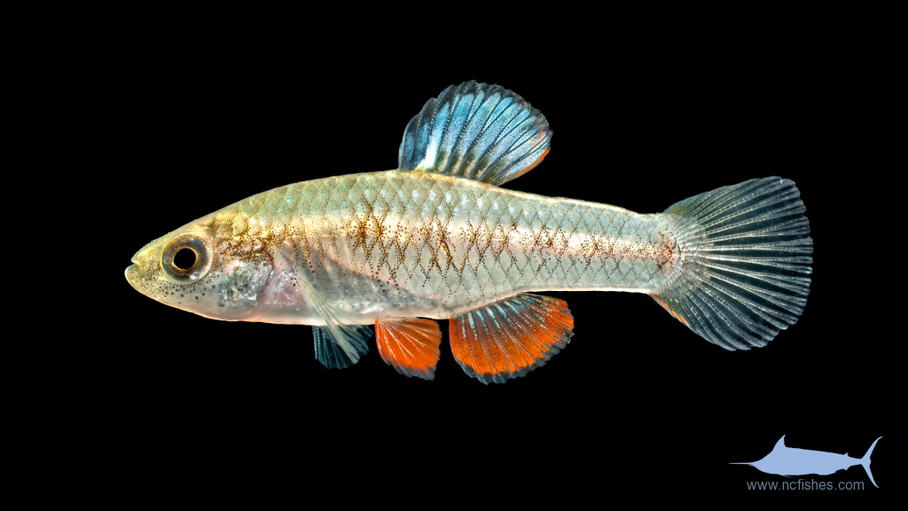 Rainwater Killifish - Lucania parva - Male