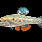 Rainwater Killifish - Lucania parva - Male