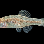 Rainwater Killifish - Lucania parva - Female