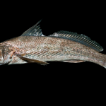 Southern Kingfish - Menticirrhus americanus