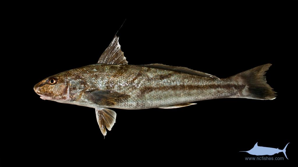 Northern Kingfish - Menticirrhus saxatilis