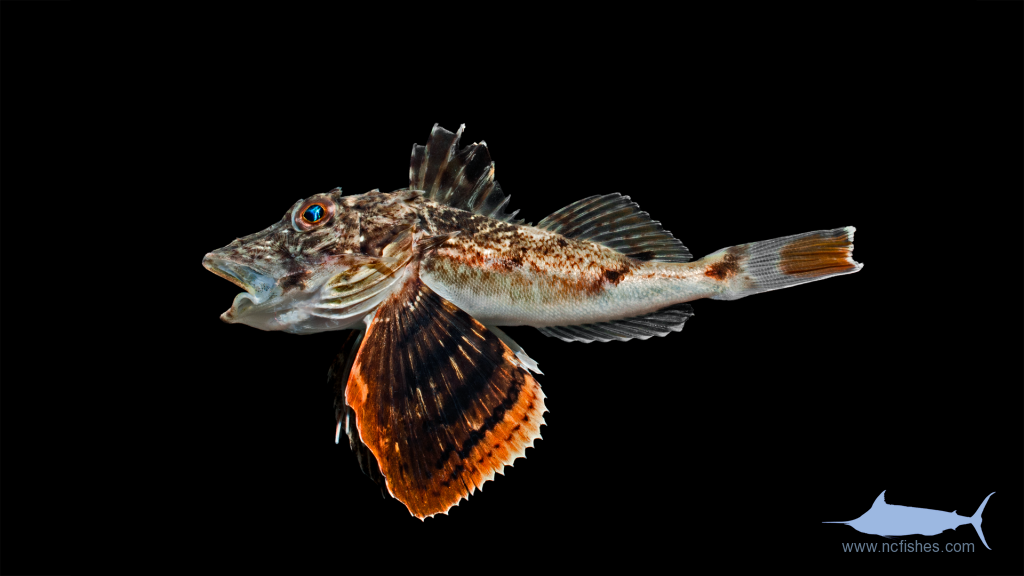 Bighead Searobin - Prionotus tribulus