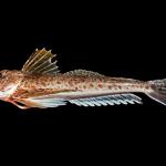 Leopard Searobin - Prionotus scitulus