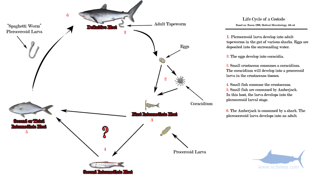 The life Cycle of a Cestode. (Amberjack Worm)