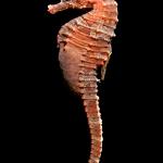 Lined Seahorse - Hippocampus erectus