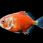 Permit - Trachinotus falcatus