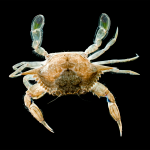 Lesser Blue Crab - Callinectes similis