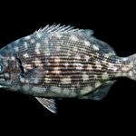 Bermuda Chub - Kyphosus sectatrix