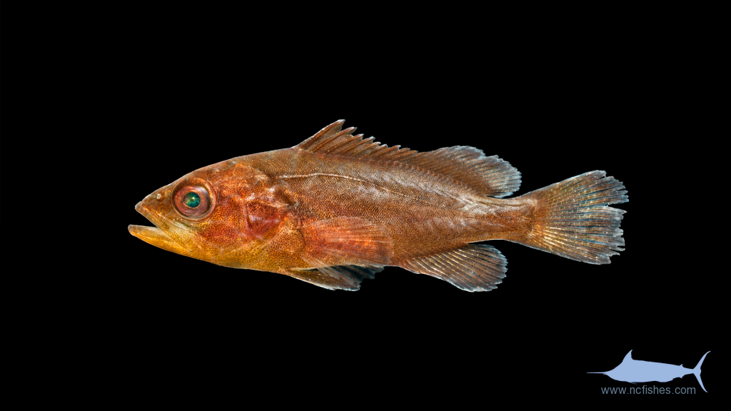 Gag Grouper - Mycteroperca microlepis