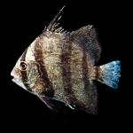 Atlantic Spadefish - Chaetodipterus faber