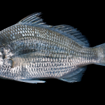 Silver Jenny - Eucinostomus gula