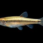 Creek Chub - Semotilus atromaculatus