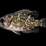Rock Bass - Ambloplites rupestris - Juvenile