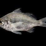 Silver Jenny Mojarra - Eucinostomus gula