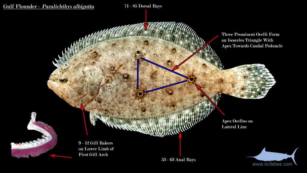 Paralichthys-albigutta