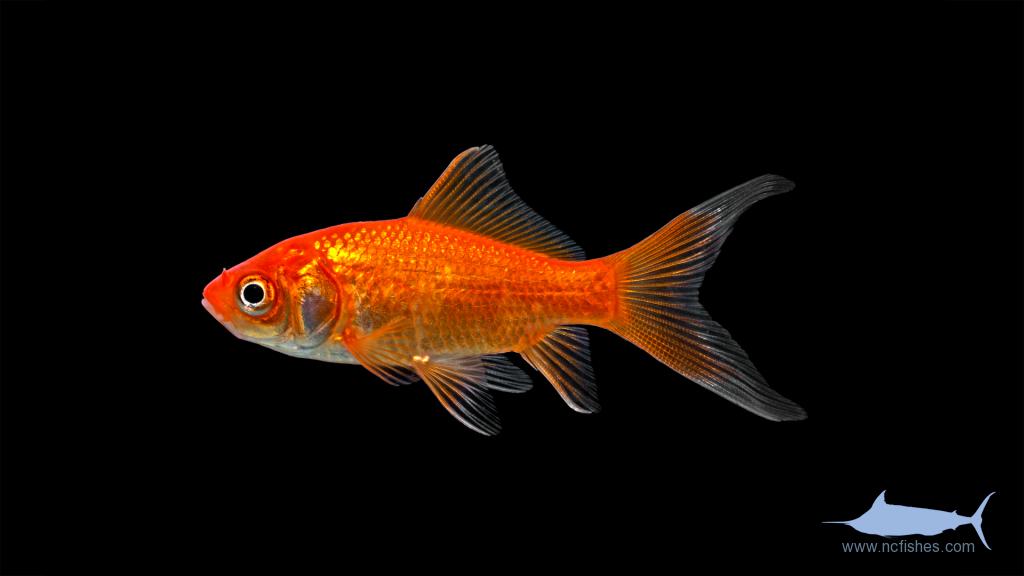 Goldfish - Carassius auratus - Var. 'Fancy'
