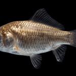 Goldfish - Carassius auratus - Wild Type
