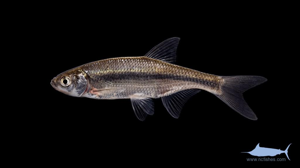 Golden Shiner - Notemigonus crysoleucas