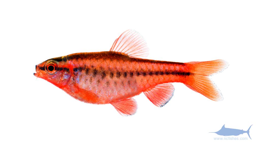 Cherry Barb - Puntius titteya