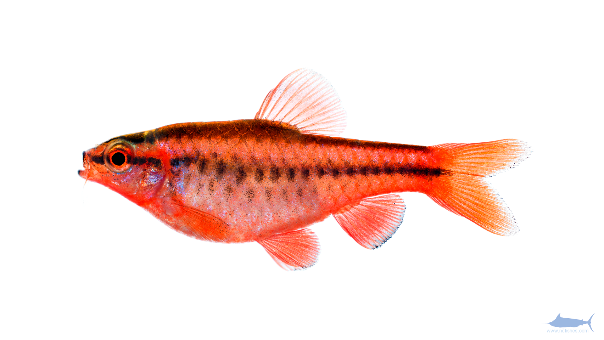 New photography methods fishes of north carolina for Cherry barb fish