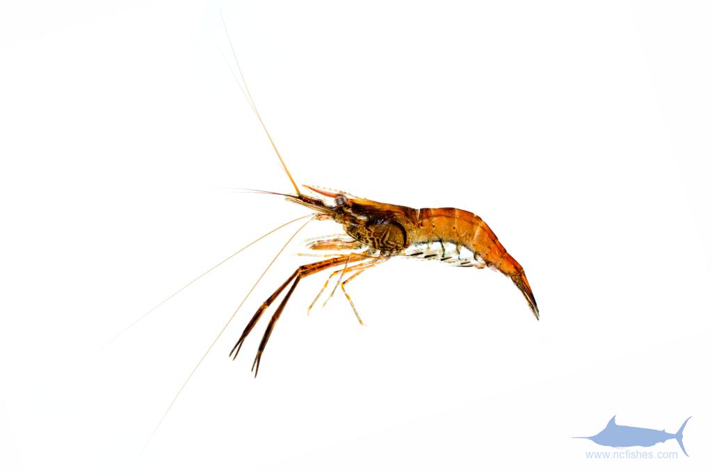 'Oriental River Shrimp' - Macrobrachium sp. c.f. nipponense