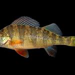 Yellow Perch - Perca flavescens