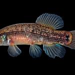 Eastern Mudminnow - Umbra pygmaea