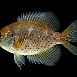 Flier - Centrarchus macropterus