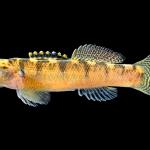 Carolina Fantail Darter - Etheostoma brevispinum