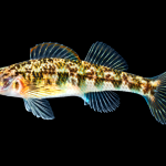 Seagreen Darter - Etheostoma thalassinum