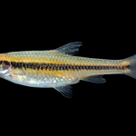 Whitemouth Shiner - Notropis alborus