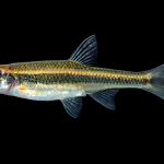 Highfin Shiner - Notropis altipinnis