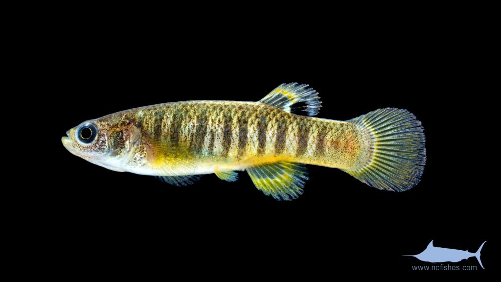 Spotfin Killifish - Fundulus luciae