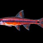 Taillight Shiner - Notropis maculatus