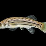 Striped Killifish - Fundulus majalis - Female