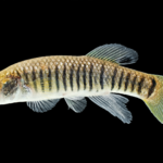 Striped Killifish - Fundulus majalis - Male
