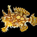 Sargassum Fish - Histrio histrio