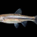 Greenfin Shiner - Cyprinella chloristia