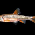 Redlip Shiner - Notropis chiliticus