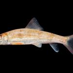 Scartomyzon sp. cf. lachneri - Brassy Jumprock