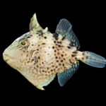 Grey Triggerfish - Balistes capriscus