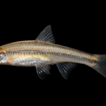 Rosyface Chub - Hybopsis rubrifrons