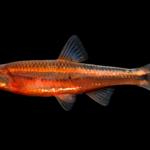Tennessee Shiner - Notropis leuciodus