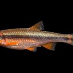 Yellowfin Shiner - Notropis lutipinnis