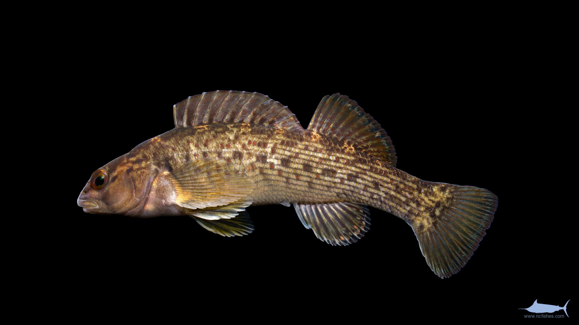 Percidae – Fishes of North Carolina