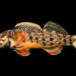 """Hiwassee"" Redline Darter - Etheostoma sp. cf. rufilineatum"